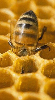 Royal jelly makes one live longer: Why queen bees survive 40-times longer than workers