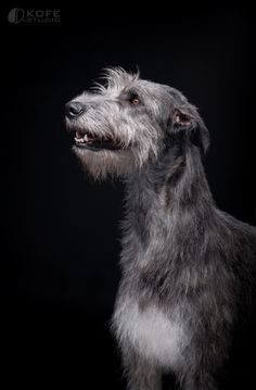 "basically-just-dogs: "" Irish Wolfhound by KOFEstudio """