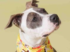 Meet+PHOEBE,+a+Petfinder+adoptable+Pit+Bull+Terrier+Dog+|+Pittsburgh,+PA+|+Phoebe+is+a+dog's+dog.+What+we+mean+by+that+is+that+she+is+the+perfect+example+of+what+you+think+a...