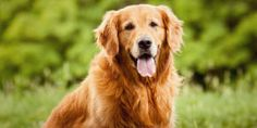 They call them the golden years for a reason. I'm a faithful companion that loves every moment spent together, whether it's an evening on the couch or an autumn walk. I've seen plenty of tennis balls come and go, but the most important things for me are a delicious meal, a relaxing bed, and a soft toy for some gentle play.