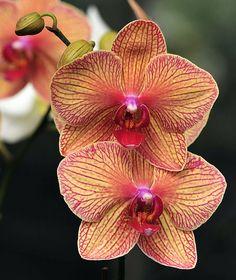 Breath taking Hawaiian Orchid Rare Flowers, Exotic Flowers, Amazing Flowers, Beautiful Flowers, Send Flowers, Lilies Flowers, Tropical Flowers, Purple Flowers, Orchids Garden