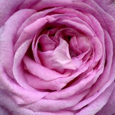 Rosa by horticultural art, via Flickr