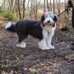 1303 Best Bearded Collies Images In