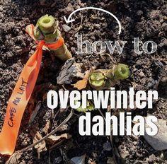 Overwintering, ... Overwintering Dahlias