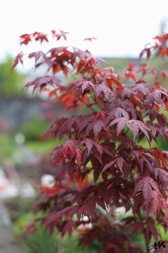 KUKKALA #japanesemaple #japaninvaahtera Garden Plants, Outdoor Gardens, Home And Garden, Yard, Trees, Pretty Flowers, Garden Ideas, Heaven, Gardening