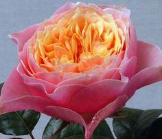 vuvuzela rose