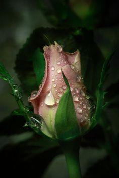 Simple means Beautiful Beautiful Rose Flowers, Love Rose, All Flowers, Window Box Flowers, Jolie Photo, Flower Wallpaper, Rose Buds, Flower Art, Red Roses