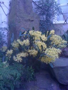Australian Native Orchids | Australian native Orchid | Mum's House | Pinterest