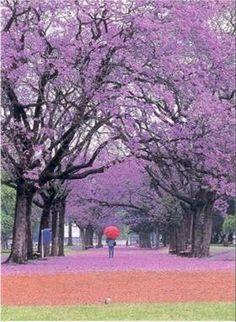 Buenos Aires - jacarandas.. Hay 10.975 jacarandás que con su florecimiento, embellecen parques, calles y avenidas. Instalada en Bs.As. a comienzos del siglo XX, a partir de los trabajos del urbanista y paisajista francés Carlos Thays. Cuando florece el jacarandá en la ciudad,en setiembre, la espectacularidad de la copa es mayor porque toda ella es flor, y estalla en ese color lila; tiene una segunda floración a mediados de febrero, pero no es tan vistosa porque el árbol estará lleno de…