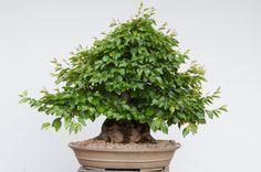 Korean hornbeam - summer cutback and leaf pruning - Bonsai Tonight Indoor Bonsai, Winter Trees, Korean, Herbs, Exterior, Leaves, Plants, Summer, Inspiration