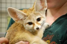 A fennec fox...why haven't I seen this before???  They're gorgeous!