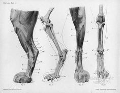 Lion Anatomy by Herman Dittrich