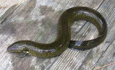 species photo Amphibians, Reptiles, Tree Of Life, Ecology, Savannah Chat, Salamanders, Creatures, Nature, Animals
