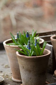 springtime perfection, or close enough. – Reading My Tea Leaves – Slow, simple, sustainable living. Indoor Gardening Supplies, Container Gardening, Beautiful Gardens, Beautiful Flowers, Reading My Tea Leaves, Herb Garden In Kitchen, Garden Cottage, Spring Bulbs, Blooming Plants