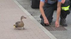 White Wolf : Panicked mother duck asks for help from firefighters to save her babies.