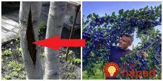 Skúsený záhradkár má pre vás skvelú radu, pre zvýšenie úrody ovocných stromov!