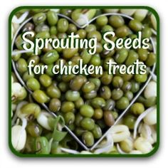 Sprouting seeds for chicken treats - why and how. Chicken Feed Diy, Chicken Items, Chicken Snacks, Chicken Eating, Chicken Garden, Healthy Chicken, Chicken Coops, Meal Worms For Chickens, Herbs For Chickens