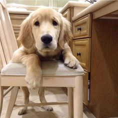 When you realize you have school/work tomorrow #welovegoldens