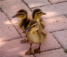 Early duck care