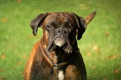 boxer dog photo | Boxer Dog Weight Chart Female Boxer Dog, Boxer Breed, Boxer Dogs, Dog Weight Chart, All About Animals, Animal Fashion, Hunting Dogs, Exotic Pets, Dog Photos