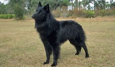 Belgian Sheepdogs are suited to many types of homes because they are so loving and playful. Learn all about Belgian Sheepdog breeders, adoption health, grooming, training, and more.