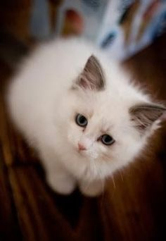 Who loves a ragdoll? I do, especially one as cute as this!