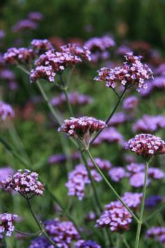 Verbena - Could do part shade, but SUN = BLOOMS. Drought & heat tolerant.