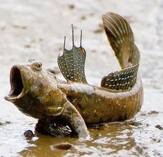 Mudskippers are amphibious fishes that are an interesting group of vertebrates. These species made a successful transition from aquatic life to terrestrial living around 360 million years ago. Sinc...