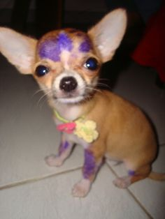 chihuahua Artist. This pup looks a lot like our little Paja