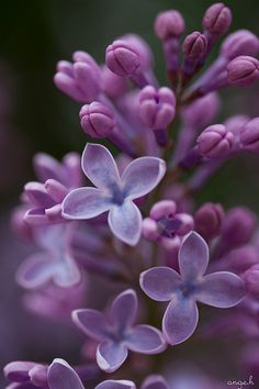 Purple lilacs are my favorite! I love them all! Their frangrance is wonderful!
