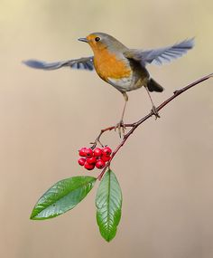 European robin, Rødkælk, Rødhals, bird, cute, nuttet, precious, 'spread your wings and fly, beauty, photo