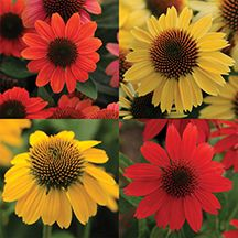 Sombrero Coneflower Offer. Includes one plant each of Hot Coral, Sandy Yellow, Salsa Red and Lemon Yellow, 4 plants total.