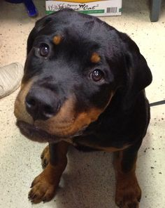 Adorable Rottweiler puppy with eyes of depth. Dogs know more about us and life that most of us give them credit for. Intelligent, sensitive.