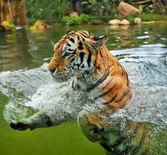 Tigers love taking baths to help them cool off during the hottest parts of the day. #BigCatFamily