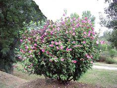 Hybiscus 'Woodbridge' Hibiscus, Planting Shrubs, Family Garden, Wood Bridge, Flowers, Gardens, Simple Flowers, Planting Flowers, Lemon