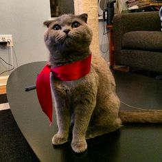 NYC DJ Mike Nouveau's smoke-colored Scottish Fold is 50 shades of great.