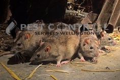 The Brown Rat - Rattus norvegicus, And How to Rid Yourself Of Their Presence Homemade Rat Poison, Madagascar, Killing Rats, Brown Rat, Rat Control, Les Rats, Termite Control, Black Death, Courtyards