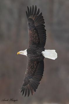 Bald eagle, Alaska by Ari Hazeghi via 500px