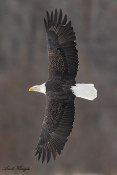 Bald eagle, Alaska by Ari Hazeghi via 500px