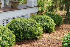 Shrubs For Landscaping, Front House Landscaping, Landscaping Ideas, Evergreen Landscape, Evergreen Shrubs, Low Growing Shrubs, Fast Growing, Full Sun Shrubs, Boxwood Garden