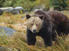 Eu Quero Biologia: Ursos pardos, salmões e humanos: quem desaparecerá...