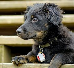 Panda the Australian Shepherd Mix -- Puppy Breed: Australian Shepherd / Dachshund