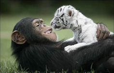 After Hurricane Hannah ravaged the state of South Carolina, the tigers of one of the zoos started acting very aggressive and were considered a danger to their young. So these two white tiger cubs were separated from their mother and adopted by a 2-year-old chimpanzee.