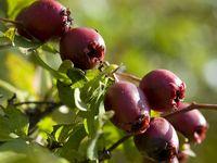 Weissdorn-Apfel-Marmelade