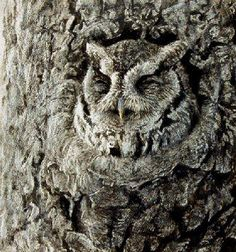 Great image of the  eastern screech owl (I think) in camouflage....