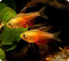Flame Tetra (Hyphessobrycon Flammeus) - Adult size: 1.75 inches. Origin: South America
