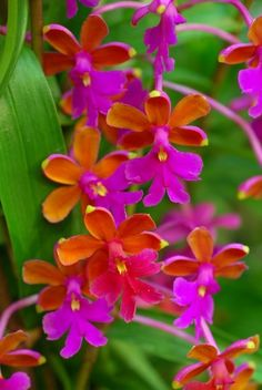 Beautiful orange and pink orchids...