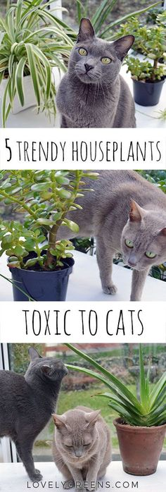 There are many trendy houseplants that are toxic to cats. Just nibbling Monstera deliciosa, jade plants, aloes, and Devils Ivy is enough to make them sick. Toxic Plants For Cats, Cat Plants, Buy Flowers, Flowers Online, Common Garden Plants, Garden Plants Vegetable, Herb Garden, Popular House Plants, Plants