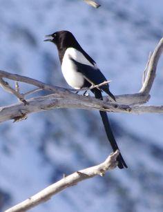 Black-billed Magpie - Convict Lake (central California)