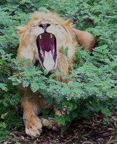 Lion at Casela Safari Park